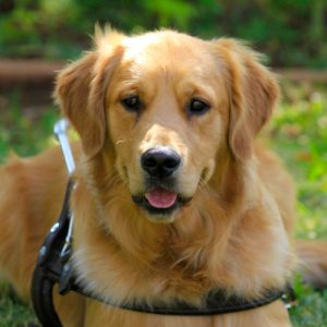 South African Guide-Dogs Association For The Blind Gold Sponsorship