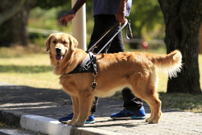South African Guide-Dogs Association For The Blind Guide Dog In Harness