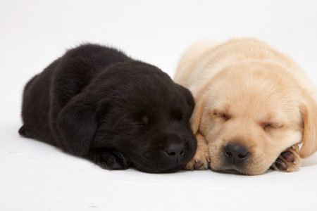 South African Guide-Dogs Association For The Blind Guide Dog Puppies 2