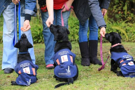 South African Guide-Dogs Association For The Blind Guide Dog Puppies At Puppy Club