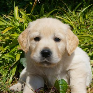 South African Guide-Dogs Association For The Blind Puppy Sponsorship