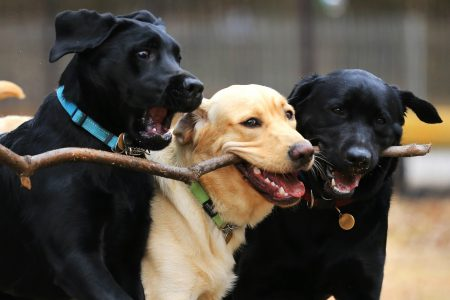 South African Guide-Dogs Association For The Blind Weekend Homers